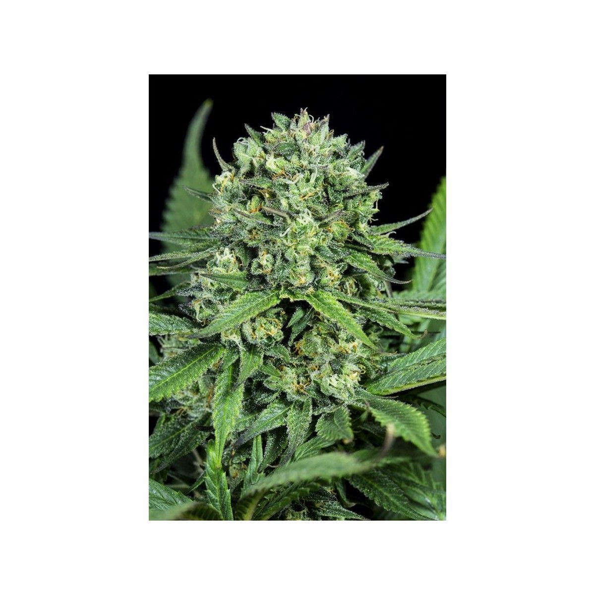 1x Cheese CBD - Dinafem Seeds  - 1